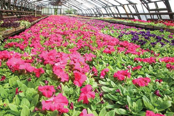 Изображение к статье На городские клумбы Иркутска высадят 500 тысяч цветов На Иркутскинформ