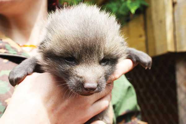 Изображение к статье В зоопарках Иркутска появились новые жители — лисята и норки На Иркутскинформ
