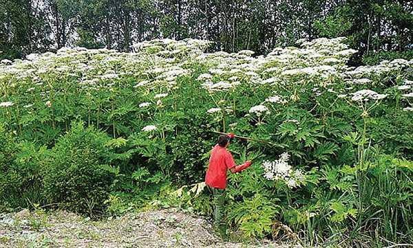 Изображение к статье Ядовитая угроза: борщевик Сосновского обнаружен учеными-ботаниками вблизи Иркутска На Иркутскинформ